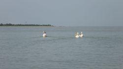 Pelikane schwimmen...