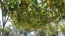 Traubenparadies