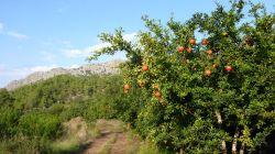 Granatäpfel am Wegesrand
