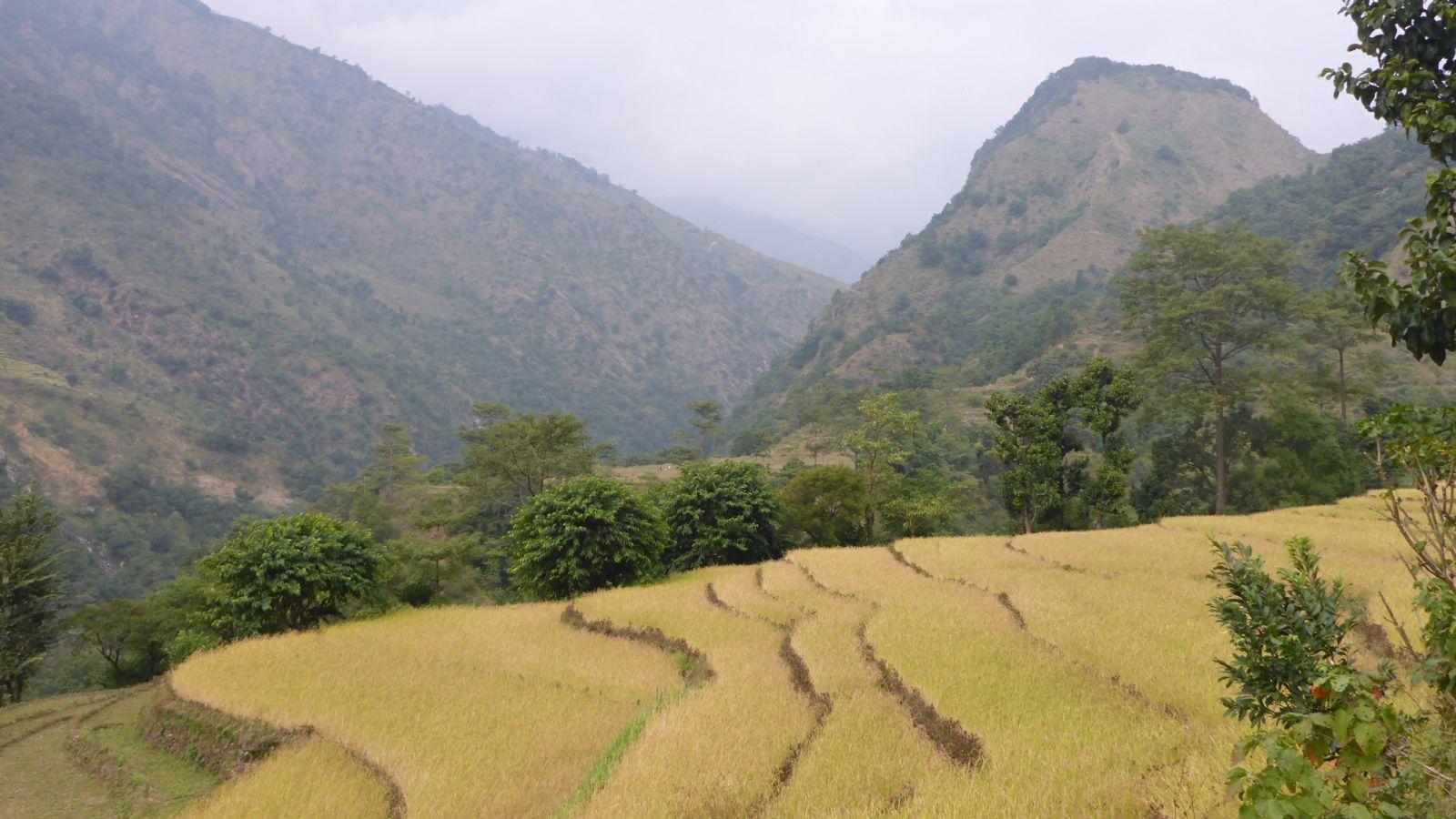 Später goldgelbe Reisfelder in der Abendsonne